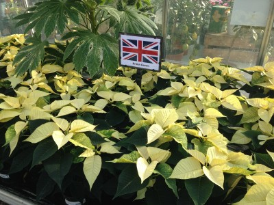 Yellow Poinsettia sold at Perrywood