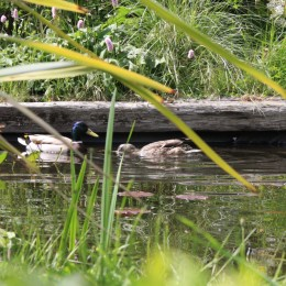 The ducks paid us a visit yesterday and are still with us. Joyce Hart
