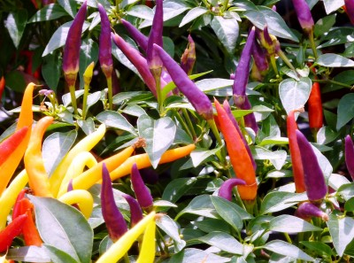 Aji Delight Chillies in an array of colours