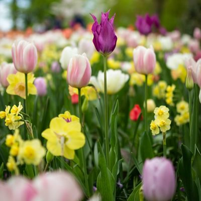 spring flowers - tulips and daffodils