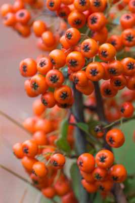 Pyracantha 'Orange Glow' berries are loved by birds.