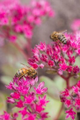 Honey Bees gathering pollen from Sedum. GAP Photos 2019.