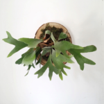 Mounted Staghorn Fern Workshop